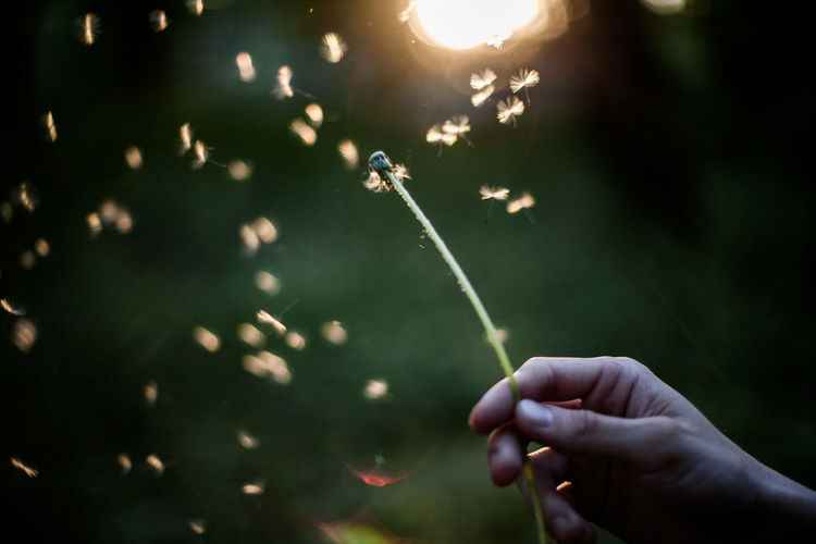 Close-up of hand holding dandelion Dandelion Seed Green Color Making A Wish Nature Single Flower Sunlight Blowing Dandelion Close-up Cropped Dandelion Day Dry Flower  Flower Focus On Foreground Forest Holding Human Hand Nature Outdoors Park People Plants And Flowers Spring Summer Sunset First Eyeem Photo