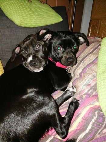 Hunde Liebe ♡ Pets Dog Kuscheln :) Liebe ❤ Chiwawa Puppy Dackelblick
