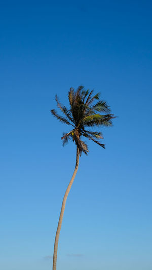 Low angle view of wilted plant against clear blue sky