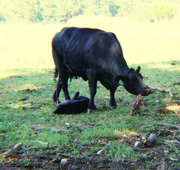 Just born. Momma eating placenta. Grass Animal Nature Outdoors Animal Wildlife No People Mammal Day Animal Themes Cows In Grassland Cows In A Field Nature Newborn Calf Cow