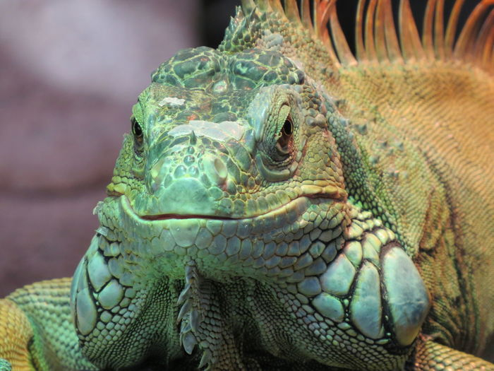 Close-up of iguana looking at camera