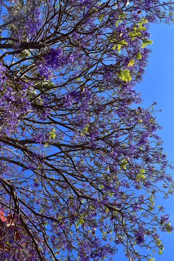 Sonríe Jacaranda Tree Low Angle View Tree Plant Sky Branch No People Nature Beauty In Nature Growth Clear Sky Blue Flower Sunlight Flowering Plant Tranquil Scene Day Fragility Tranquility Outdoors Tall - High