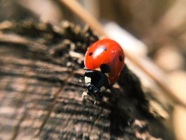 A ladybug in my garden😍 Ladybug Laybugphotography Lady Bug Love Insect Insect Photography Macro Macro_collection Macro Photography Macro Beauty EyeEm Nature Lover Red Nature Ladybugmacro Garden Outinthenature Insectphotography Peace Lucky Macrolens Urban Spring Fever