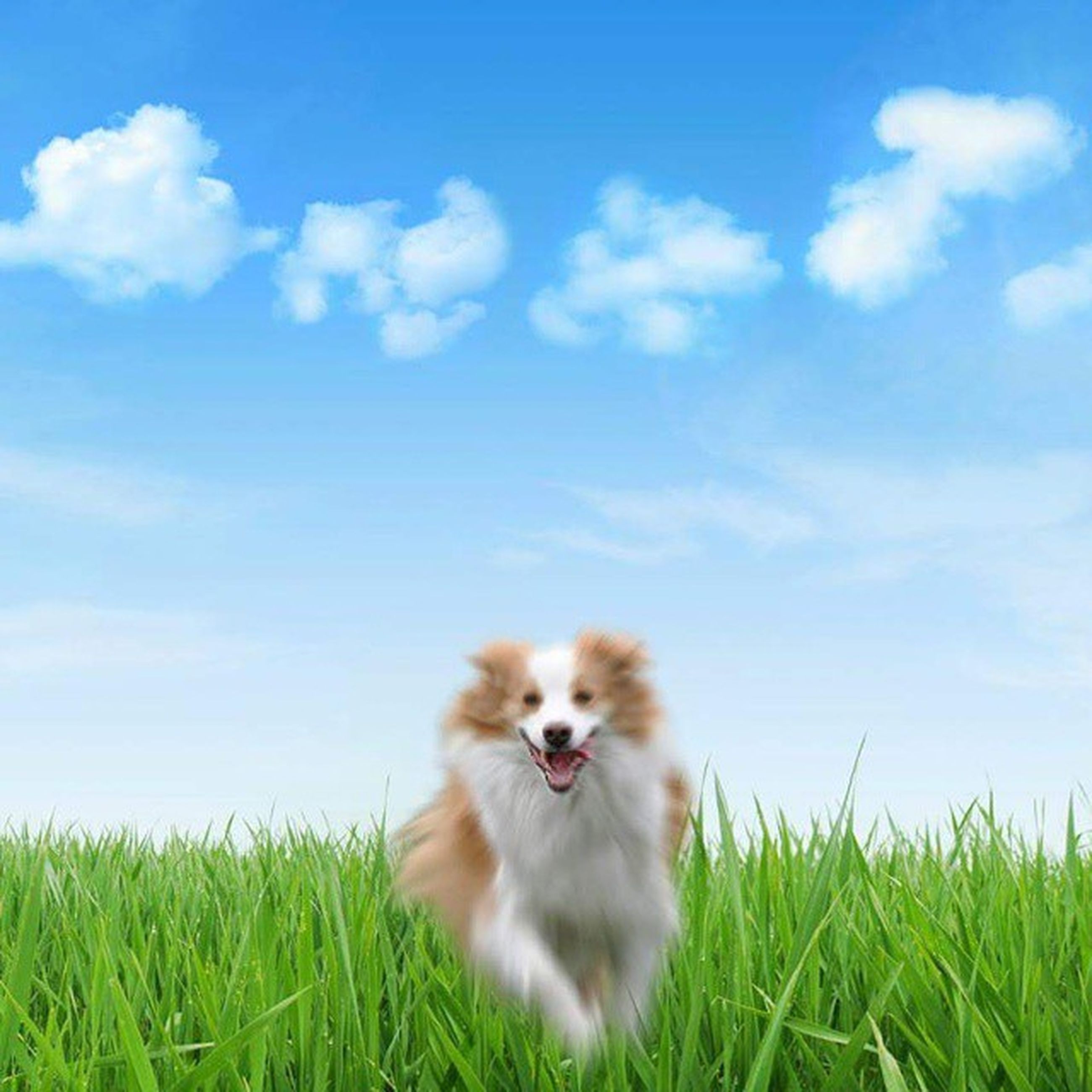 animal themes, grass, domestic animals, one animal, mammal, pets, field, grassy, sky, looking at camera, portrait, relaxation, nature, domestic cat, day, dog, blue, no people, outdoors, landscape