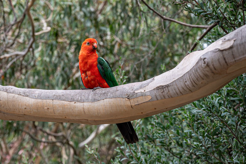 Australian king parrot, alisterus scapularis, perched on branch, kennett river, victoria, australia