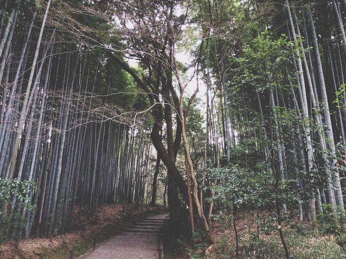苔寺 Japanese Temple Bamboo