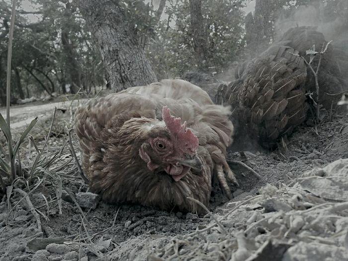 Nature Birds Chickens Farmanimals