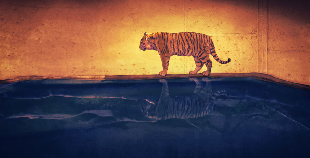 Dreamtiger Animal Art Art And Craft Art, Drawing, Creativity Artist ArtWork Artworks Beauty In Nature Blue Complementary Colors Composing Creative Dream Dreaming Dreams Dreamtiger Mystic Mystical Mystical Atmosphere Orange Scene Scenery Tiger Tigers