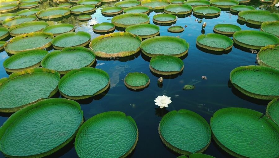 High angle view of lotus leaves in lake