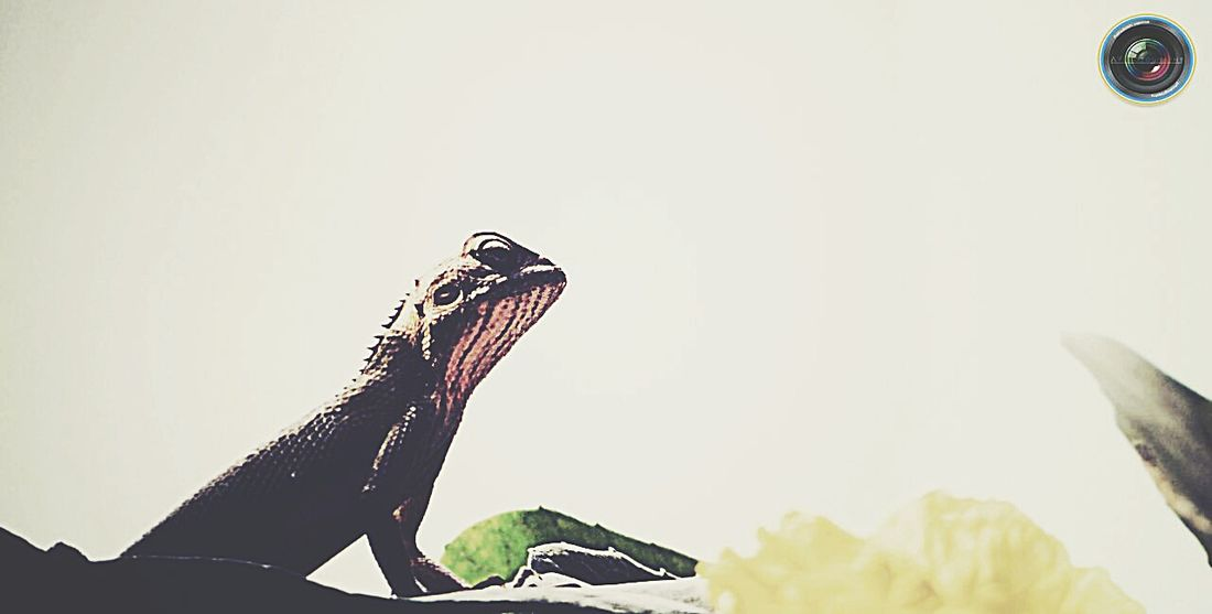 Chemelion Reptile Reptiles Nature Nature Photography Natureporn Animal Photography Animals Posing Showing Imperfection