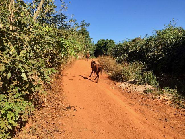 Cuba Farmer Holidays Little Horse Nature Running Horse Domestic Animals Horse Nature Riding Tree Wildlife
