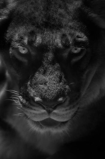 ready to roar Zoo Photography  Silent Moment Female Lioness Pride Shadows & Light Pets Looking At Camera Studio Shot Human Eye Leopard Close-up