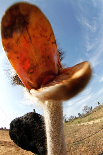 Close-up of ostrich with open beak