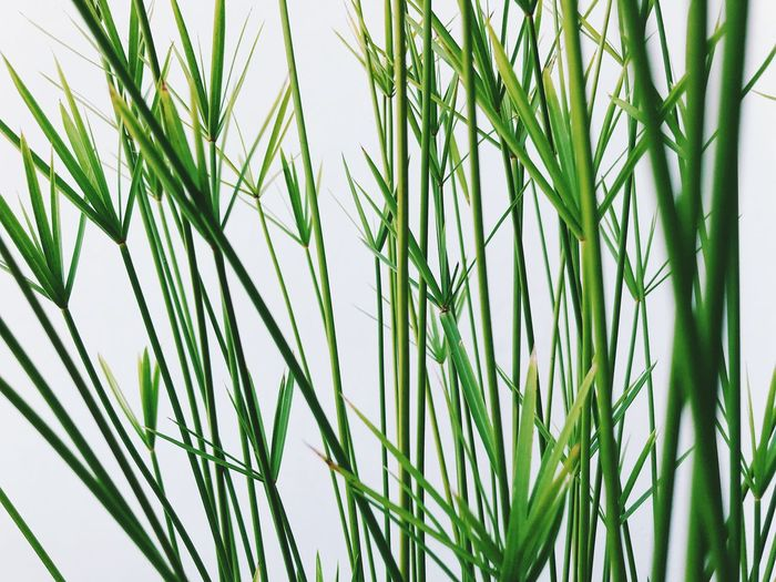 Green Color Growth Plant Nature Close-up Beauty In Nature No People Grass Day Backgrounds Agriculture Full Frame Freshness Crop  Blade Of Grass Outdoors Tranquility Focus On Foreground Sky Field Bamboo - Plant