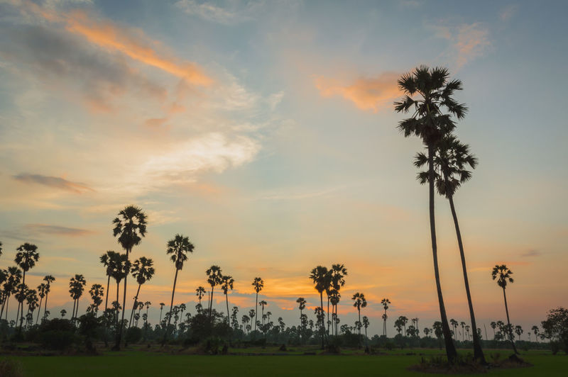 Morning light or Evening light in Landscape silhouette sugar palm trees. Sunset with silhouette Sugar palm trees on the colorful twilight sky. Palm Tree Sunset Cloud - Sky Beauty In Nature Scenics - Nature Nature Silhouette Field Coconut Palm Tree Landscape Orange Color Sky Tree Plant Tropical Climate Tranquility Outdoors Sugar Palm Trees Twilight Sky