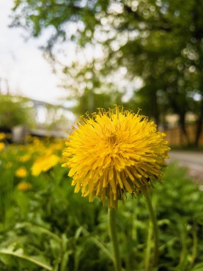 Yellow Plant Flower Flowering Plant Freshness Beauty In Nature Vulnerability  Petal Inflorescence Flower Head Focus On Foreground Nature Field Fragility No People Outdoors Botany Close-up Day Growth