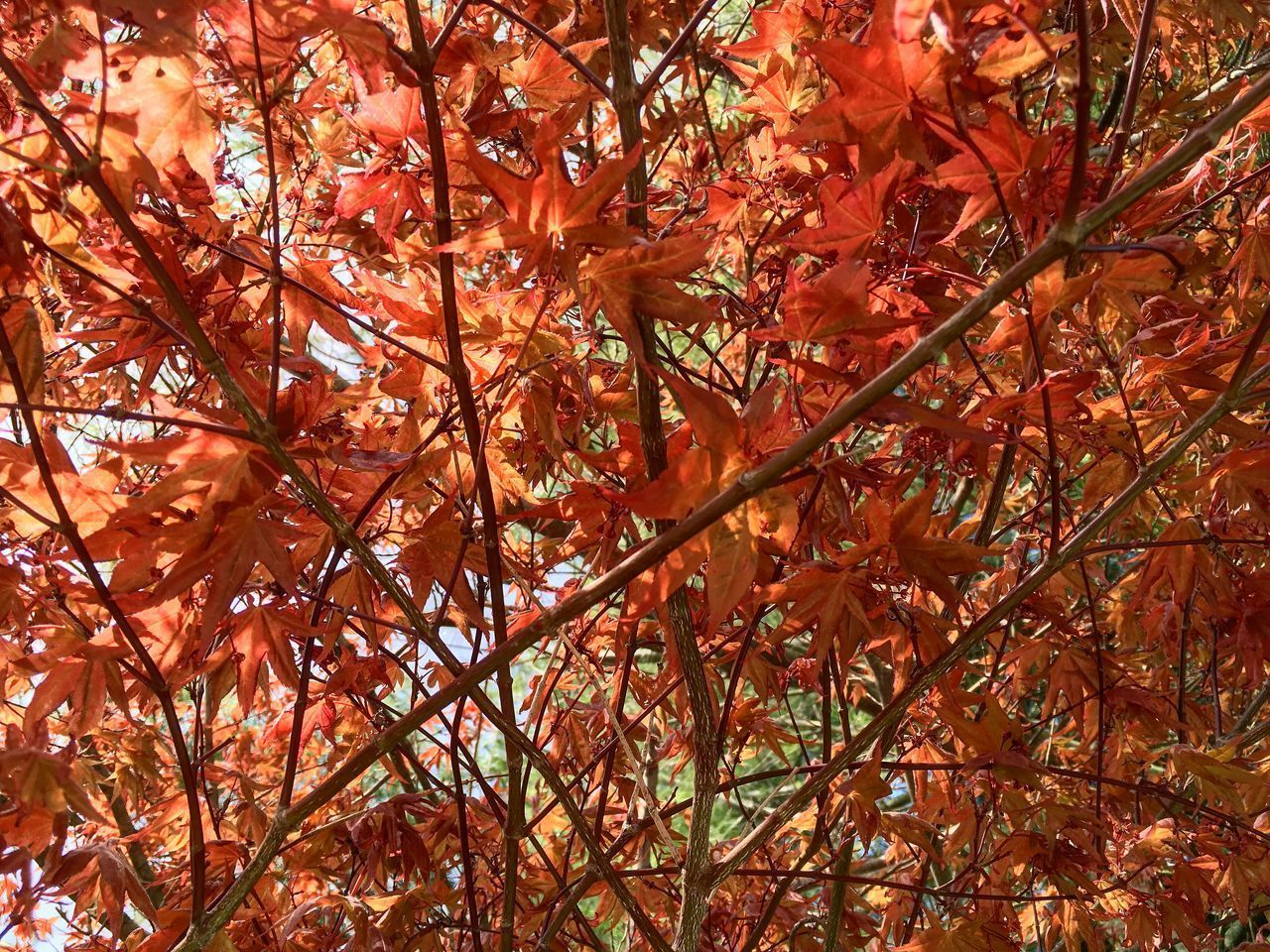 autumn, tree, change, plant, orange color, beauty in nature, full frame, branch, plant part, backgrounds, growth, no people, leaf, nature, day, low angle view, tranquility, outdoors, maple tree, red, maple leaf, natural condition, fall, leaves, tree canopy