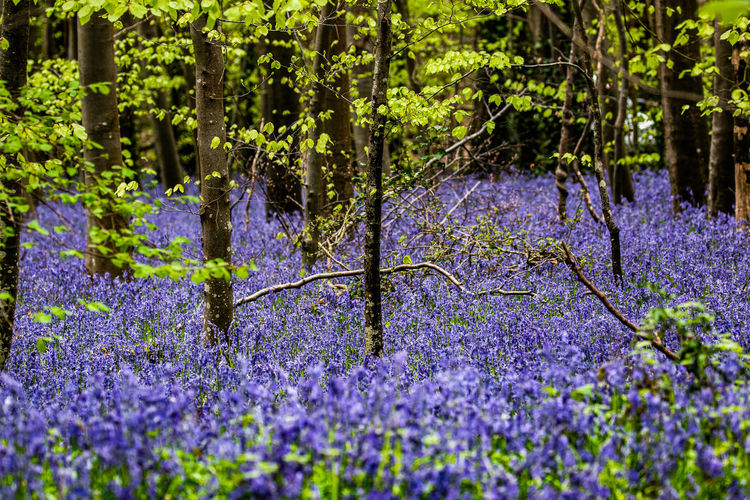 Bluebell woods English Woodland WoodLand Beauty In Nature Bluebell Woods Bluebells Close-up Day Field Flower Flowering Plant Fragility Freshness Growth Land Lavender Lavender Colored Nature No People Outdoors Plant Purple Selective Focus Spring Colours Tree Vulnerability