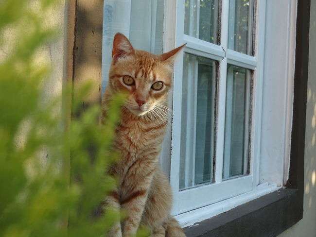Domestic Cat Window Pets Domestic Animals Looking At Camera One Animal Feline Mammal Looking Through Window Window Sill Animal Themes Day Portrait Close-up No People Indoors  Animal Eye Nature