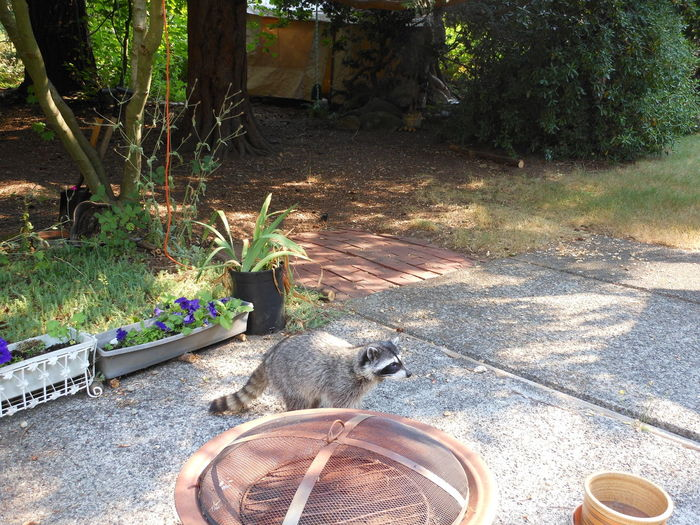 Patio Visitor Animal Themes Animal Wildlife Animals In The Wild Day Feline Growth High Angle View Mammal Nature No People One Animal Outdoors Patio Edge Plant Raccoon Tree