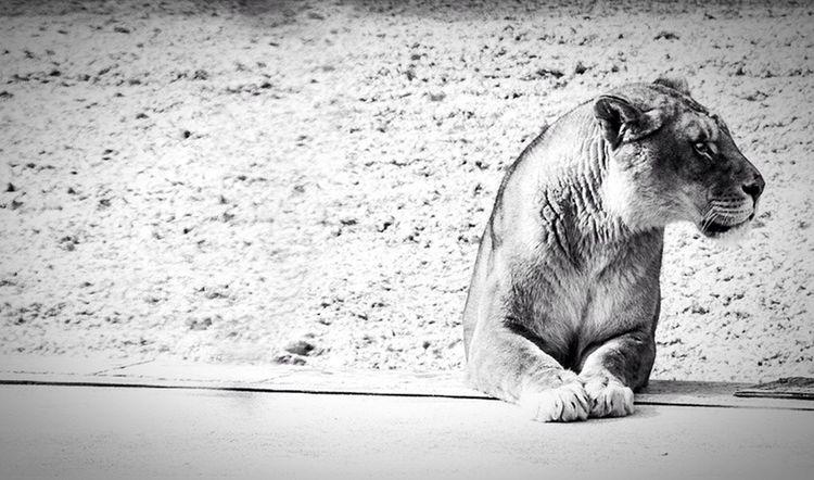 Puy Du Fou Lion B&w Wildlife Wild 🦁