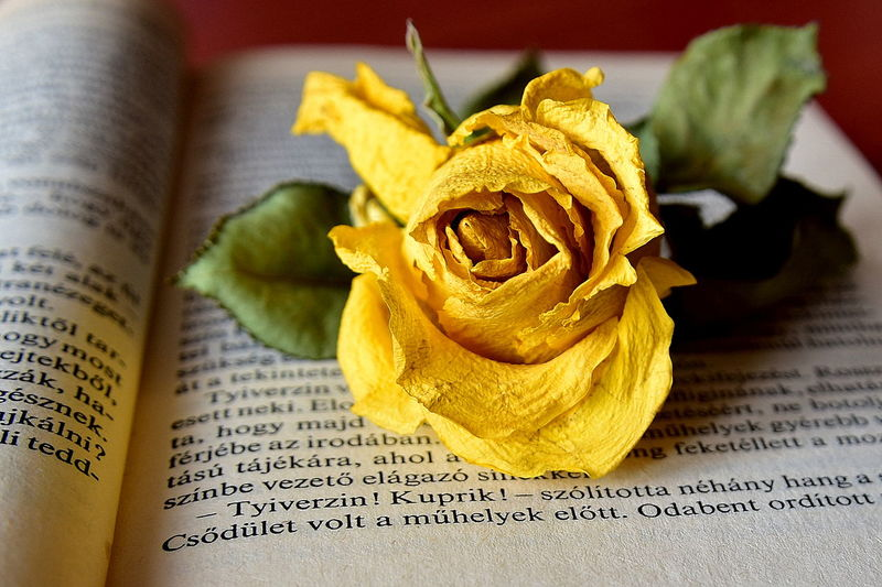 Books Memories Novel Photographic Memory Reading Time Roses Yellow Flower Yellow Rose