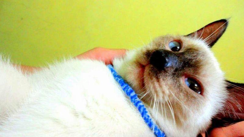 Eyemphotography Animal Photography EyeEm Best Shots Cats Of EyeEm Siamesecats EyeEm Animal Lover Eyeem Animal Lovers