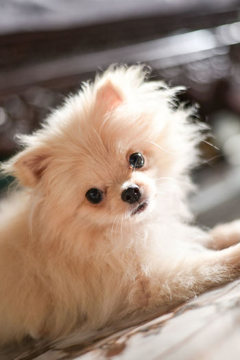 Light brown Pomeranian puppy looking to camera in marble floor room in bokeh background Domestic Mammal Pets Animal Themes Canine Dog One Animal Domestic Animals Animal Vertebrate Looking At Camera Portrait Cute Small Indoors  No People Close-up Pomeranian Animal Hair Lap Dog Animal Head  Shih Tzu Pomeranian Puppy Doggy Lying Down Looking At Camera Adorable