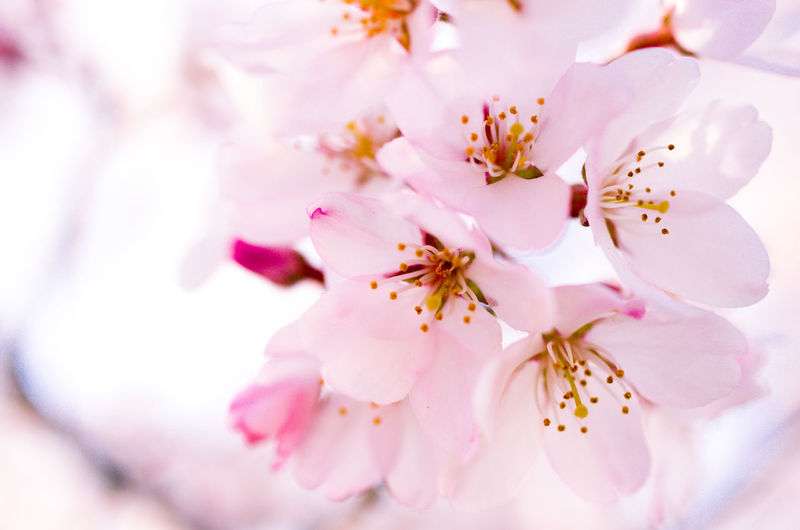 Flower Flowering Plant Freshness Plant Beauty In Nature Fragility Pink Color Blossom Close-up Vulnerability  Springtime Petal Pollen Growth Cherry Blossom No People Nature Stamen Tree Selective Focus Flower Head Outdoors Cherry Tree Bunch Of Flowers Spring Spring Flowers Sakura Sakura Blossom