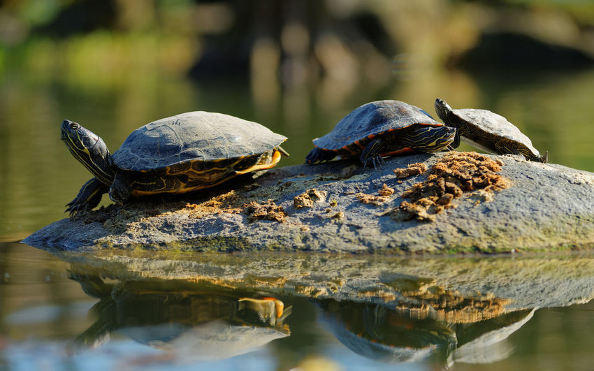 Close-Up Of Turtles On Rock