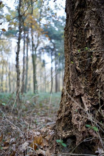 Tree Trunk Tree Trunk Plant Land Forest Focus On Foreground Growth Nature Day No People Tranquility Outdoors WoodLand Beauty In Nature Close-up Bark Moss Textured  Field