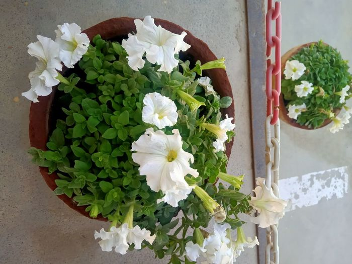 Close-up of white flower pot