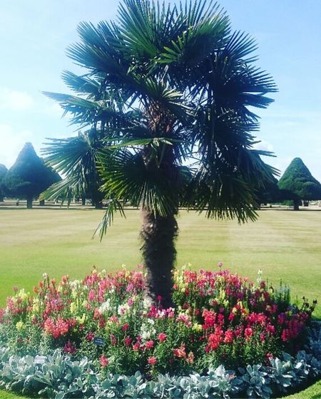 Hampton Court Palace Hamptoncourtpalacegardens Outdoors Flower Tree Beauty In Nature Landscape Tranquility Palm Tree Day Growth Nature No People Field Plant Scenics Sky Fragility Grass Freshness Flower Head