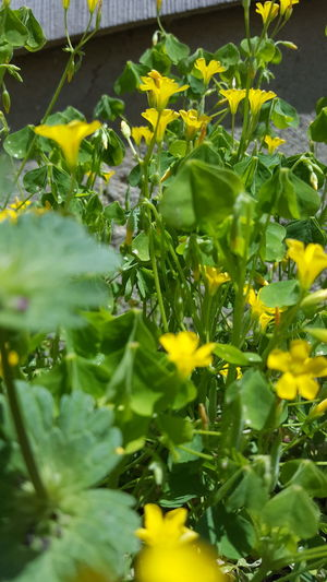 Plant Green Color Nature Front Or Back Yard Growth Leaf Yellow Outdoors Day Freshness Herb No People Summer Close-up Healthy Eating Flower Defocused Greenhouse Community Garden