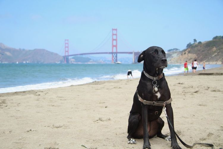 Dog and bridge Beach Golden Gate Bridge Bridge - Man Made Structure Dog Water One Animal Canine Pets Domestic Domestic Animals Land Sky Animal Sand Sea Day Nature EyeEmNewHere