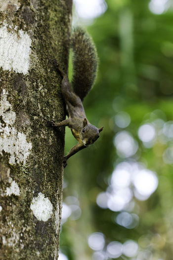 squirrel french guiana Squirrel Animal Wildlife Animals In The Wild Close Up Nature Nature No People One Animal Outdoors Tree Trunk