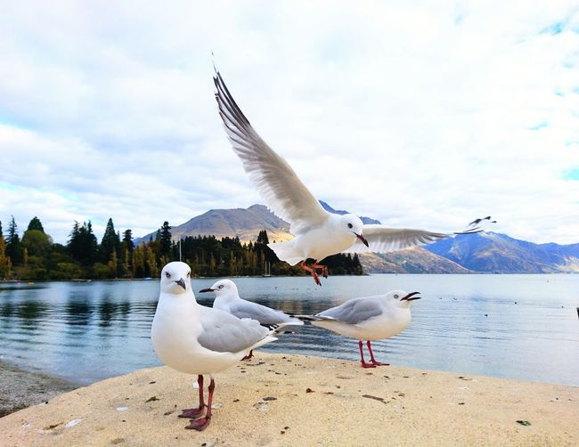 Seagulls Seagull New Zealand Queenstown Bird Spread Wings Water Flying Seagull Beach Lake Sky Water Bird The Mobile Photographer - 2019 EyeEm Awards