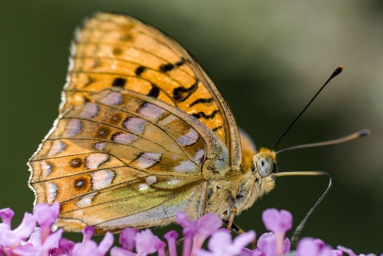 Argynnis Insect