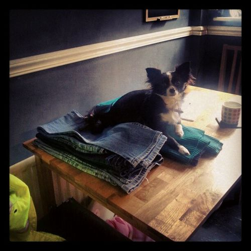 Just gonna lie on your freshly washed ironing. . Dog Chihuahua Idiot Thoughtless Hairy