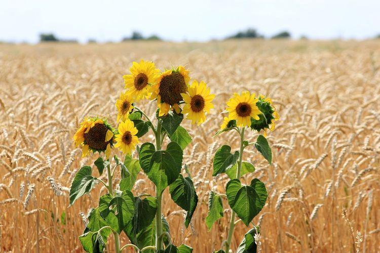 Sunflowers Joy