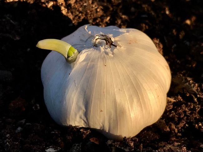 Germination Garlic Garden Photography Vegetable Garden Vegetable Vegetables Photo EyeEm Nature Lover Macro Photography Outdoors Plant No People Nature_collection EyeEmNewHere Garden Food And Drink Sprout