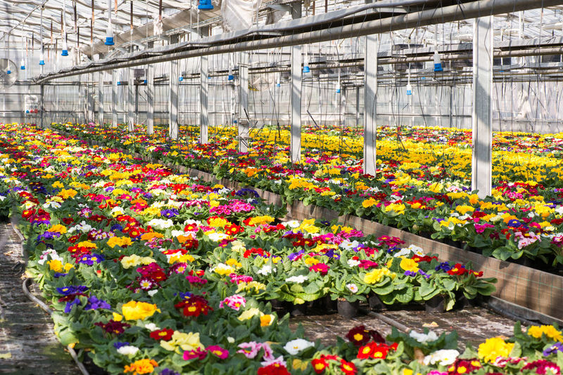 Colorful spring primroses growing in flowerpots in a large hothouse at a nursery or a floriculture farm ready for sale as houseplants Farm Nursery Primrose Hill Beauty In Nature Botanical Garden Colorful Cultivation Floriculture Flower Flower Head Flowers Freshness Glasshouse Greenhouse Growth Horticulture Houseplant Multi Colored Nature Plant Nursery Potted Plant Springtime