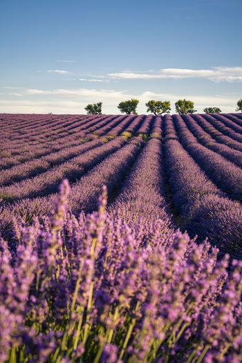 Lavender fields near Valensole in Provence at sunrise, France France Holidays Provence Travel Beauty In Nature Field Flower Flowering Plant Fragrance Landscape Lavender Nature No People Outdoors Plant Purple Scenics - Nature Summer Sunrise Tourism Tourist Destination Tranquil Scene Tranquility