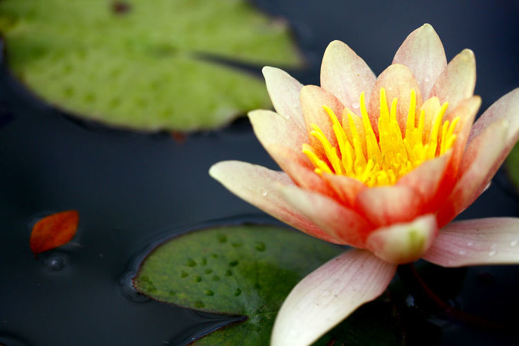 Close-Up Of Water Lily Growing In Lake