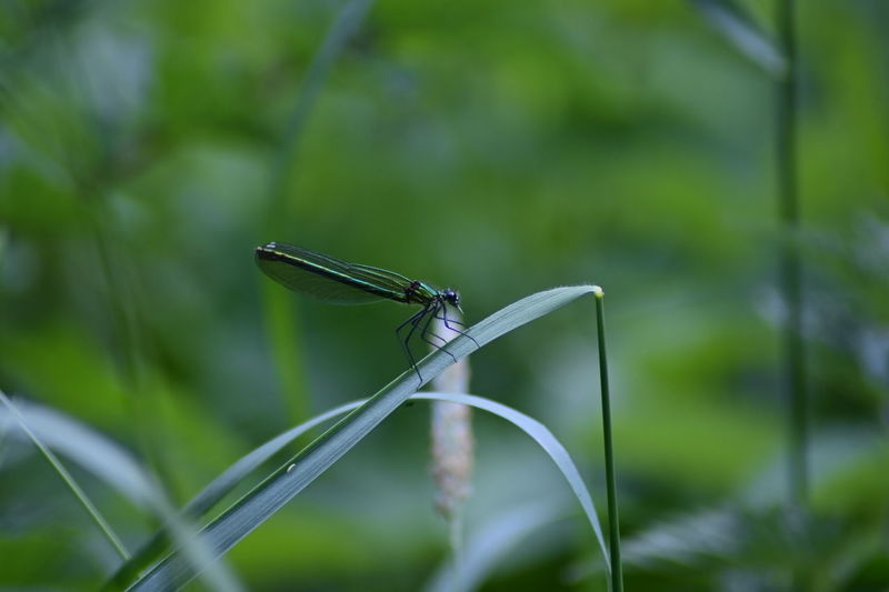 Close-up of damselfly on a plant