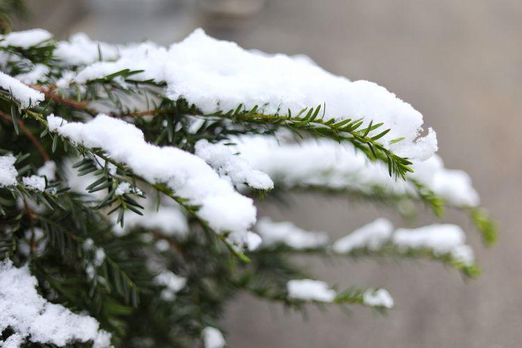 눈아 오라!!! ㅠㅠ 너무 더워서 정신 못차리는 기간.. . . #하루한컷 #눈 #겨울 #5DMARK4 #신쩜팔 #EF50MMF18MMSTM Snowflake Tree Spruce Tree Snowing Snow Branch Cold Temperature Fir Tree Winter Forest