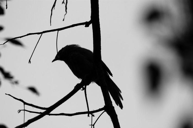 Black And White Friday Bird India