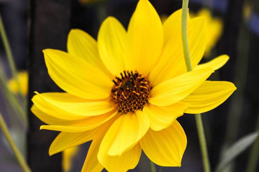 Flower Yellow Nature Plant Freshness Beauty In Nature Outdoors Close-up No People The Week On EyeEm Petal Fragility Flower Head Pollen Day Growth Black-eyed Susan Cosmos Flower Paint The Town Yellow