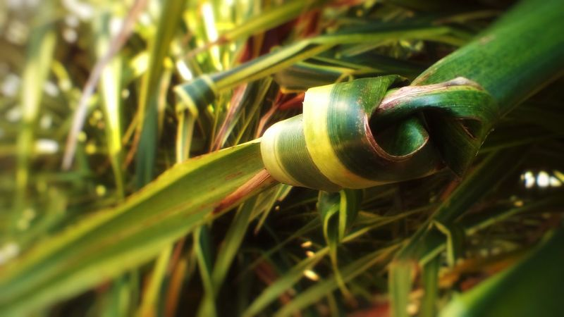 Leaf Rope Green Color Thailnd Leaf Growth Close-up Grass Day No People Plant Outdoors Beauty In Nature