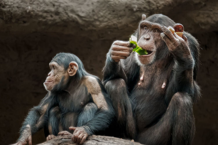 Chimpanzees sitting and eating in  a park